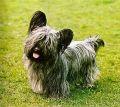 Скай-терьер (Skye Terrier)